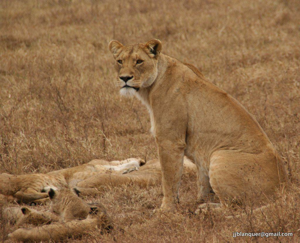 Leones en Ngorongoro
