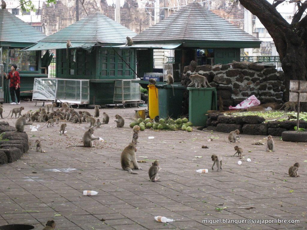 Monos en Lopburi