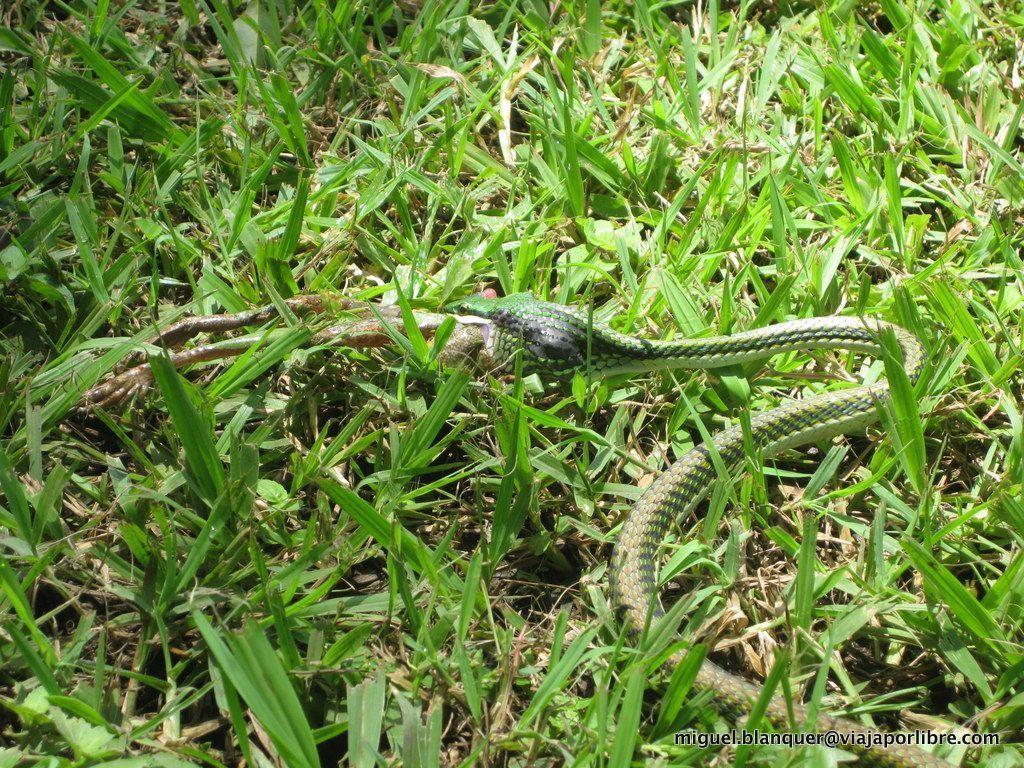 Serpiente en Copán