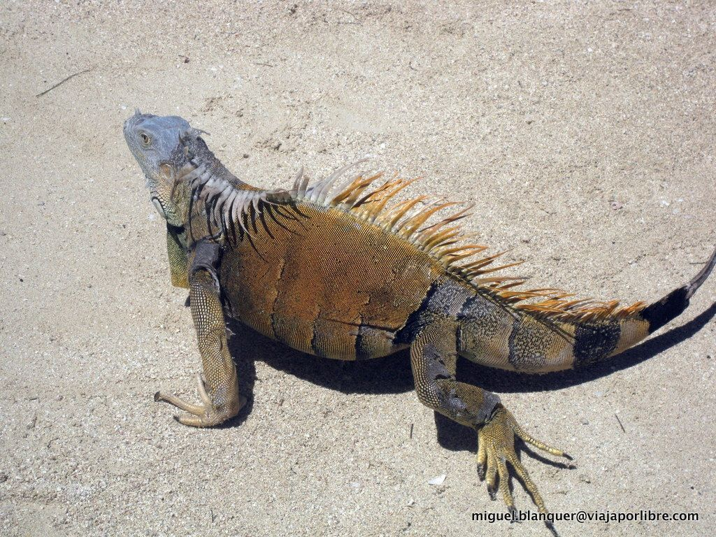 Iguana en Roatán