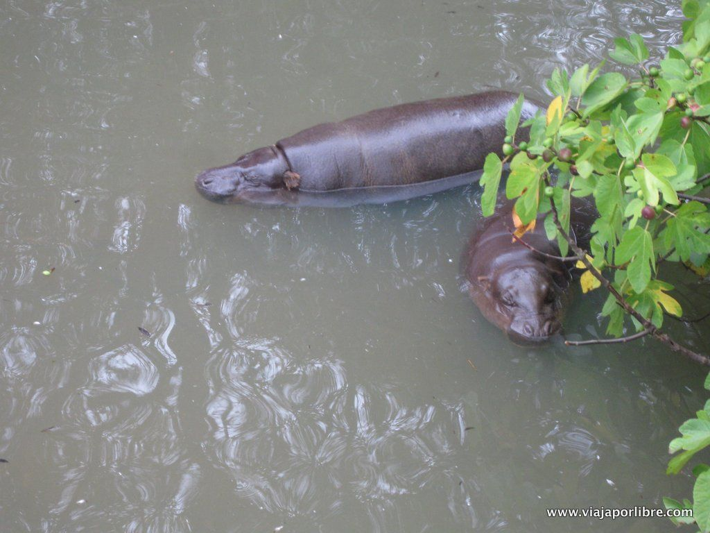 Hipopotamos Pigmeos