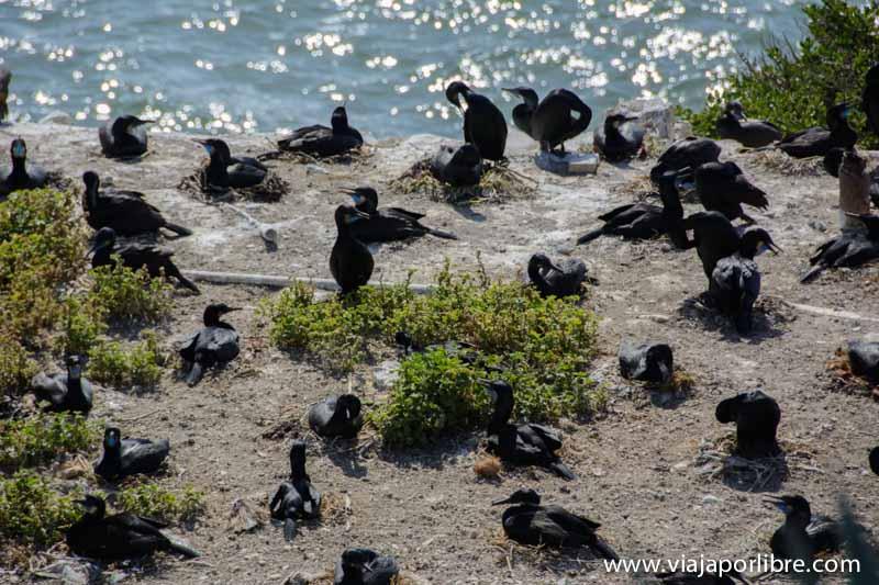 Aves en la Isla de Alcatraz