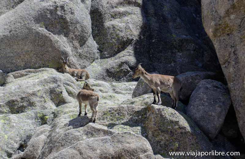 Cabras en las Torres de la Pedriza