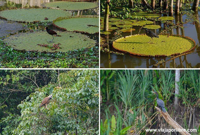 Amazonas Peruano - Aves