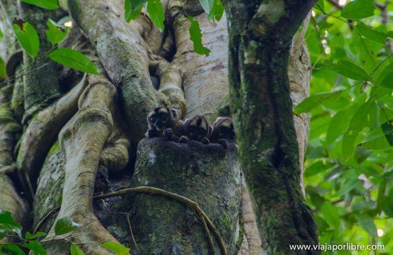 Monos nocturnos - Viajar al Amazonas peruano