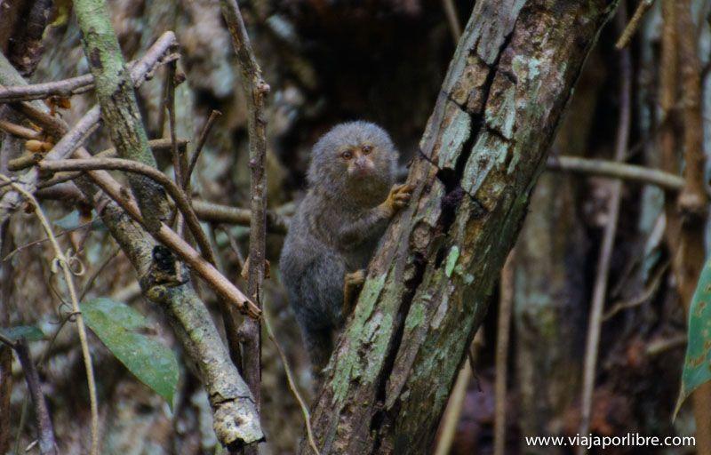 Leoncito - Viajes al Amazonas - iquitos