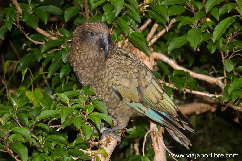 El Kea, el ave autóctona de la isla sur