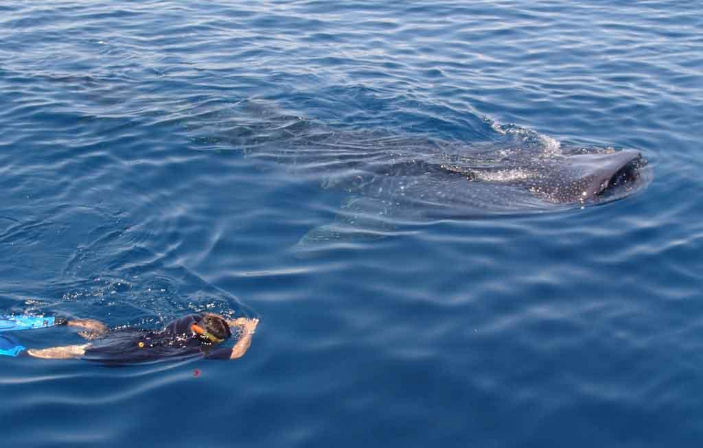 Tiburones ballena en Holbox