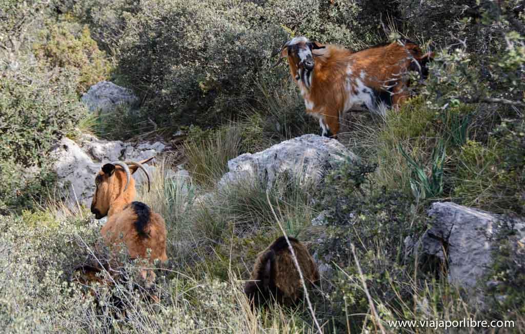 Cabras Payoyas - Sierra de Grazalema