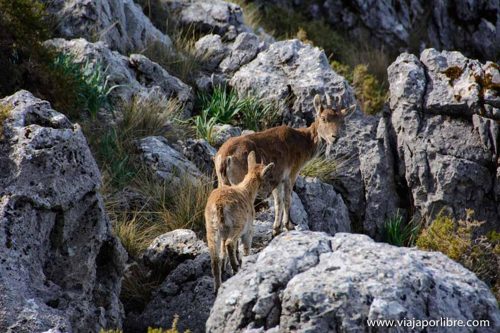 Cabra Montés - Sierra de Grazalema