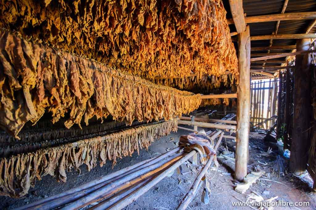 Tabaco en el Valle de Vinales de Cuba