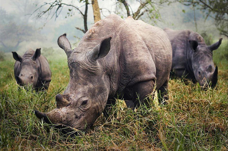 Rinocerontes blancos - Autor : Stefane Berube