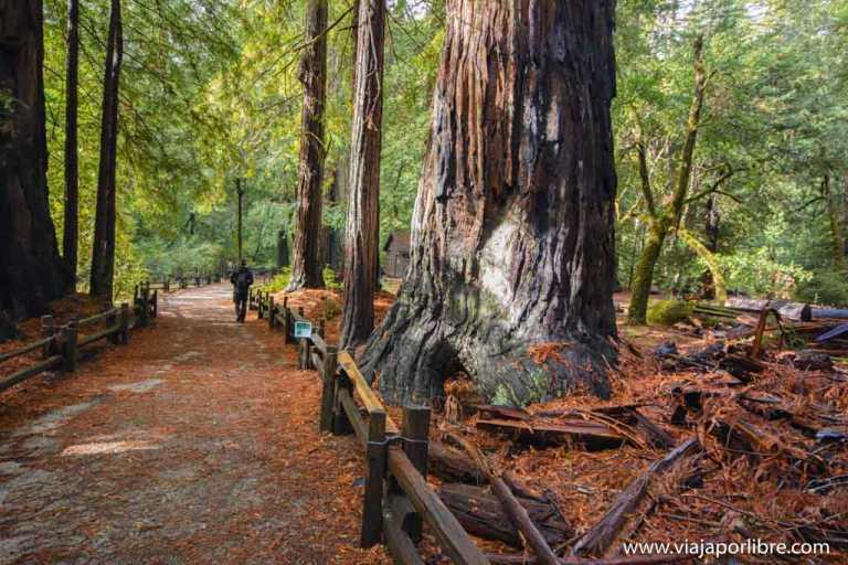 BigBasinRedwoods SecuoyasenSanFrancisco