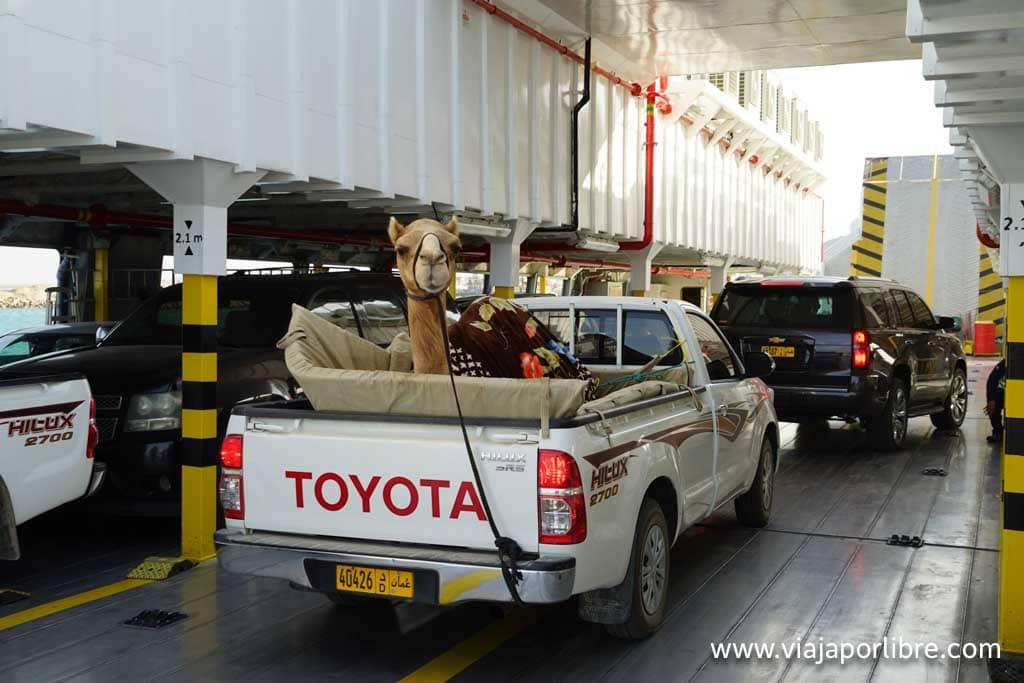Un camello en un coche en Omán