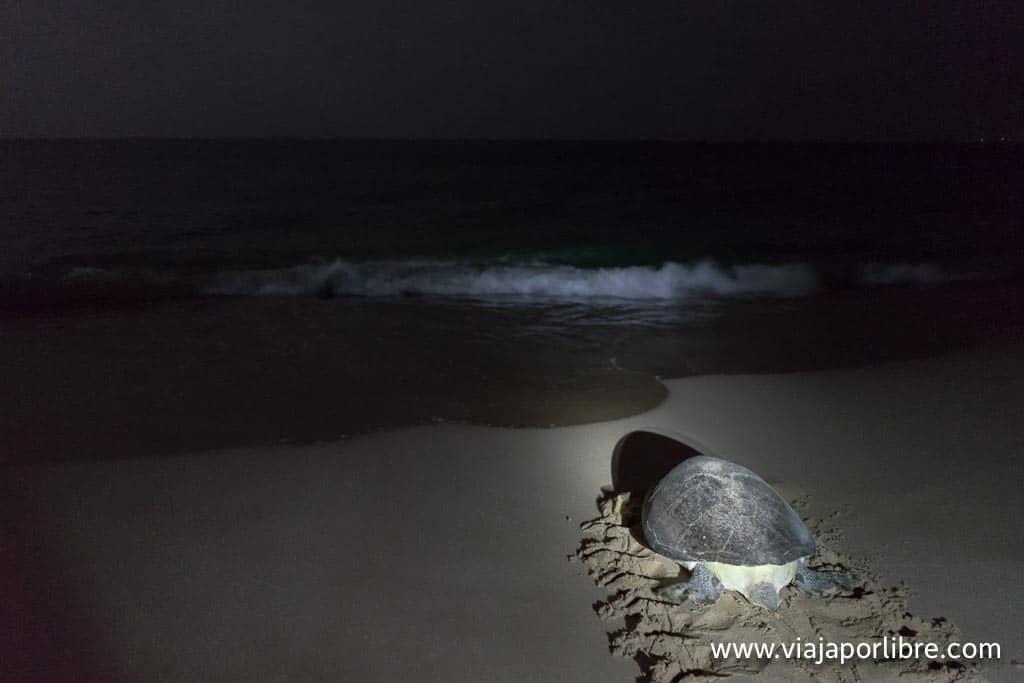 Tortugas en Omán