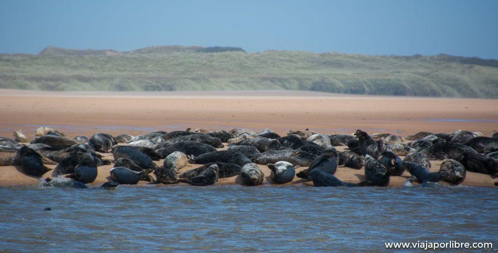 Donde ver focas en Escocia