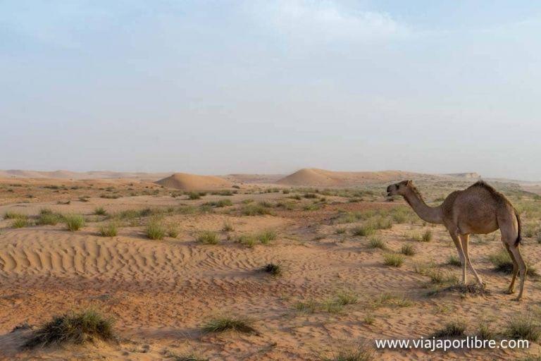 Dromedario en Omán