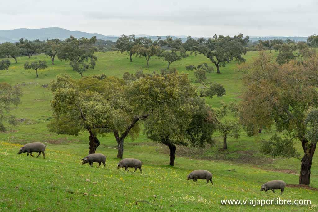 Dehesa en Badajoz
