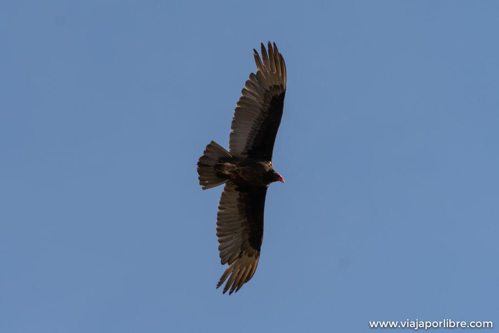 Condors de California, Pinnacles National Park