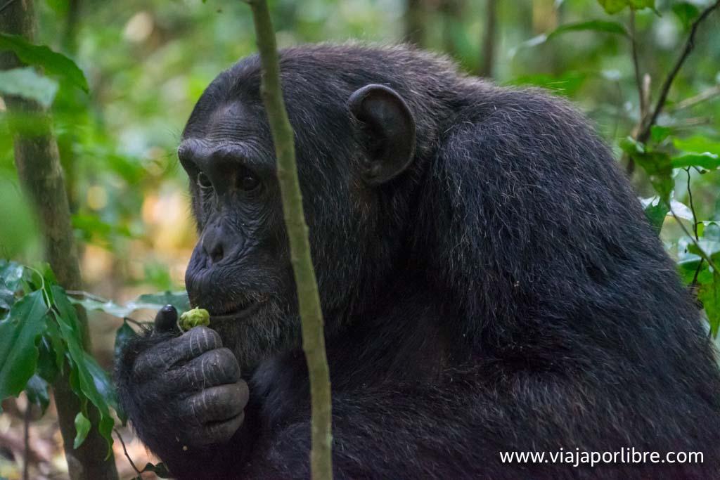 Visitando a los chimpancés en Uganda, Kibale National Park