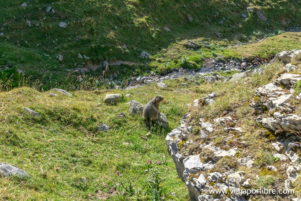 Marmotas en los Pirineos
