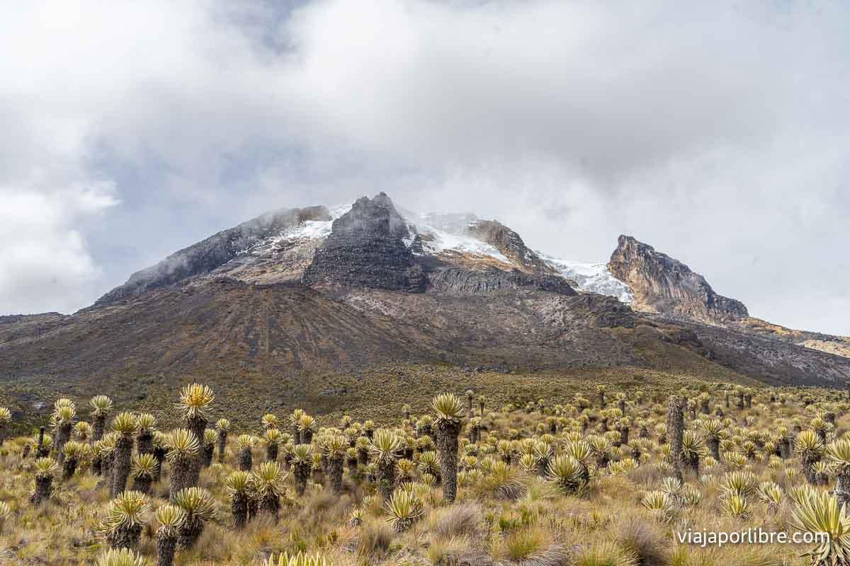 Frailejones en el Nevado del Tolima