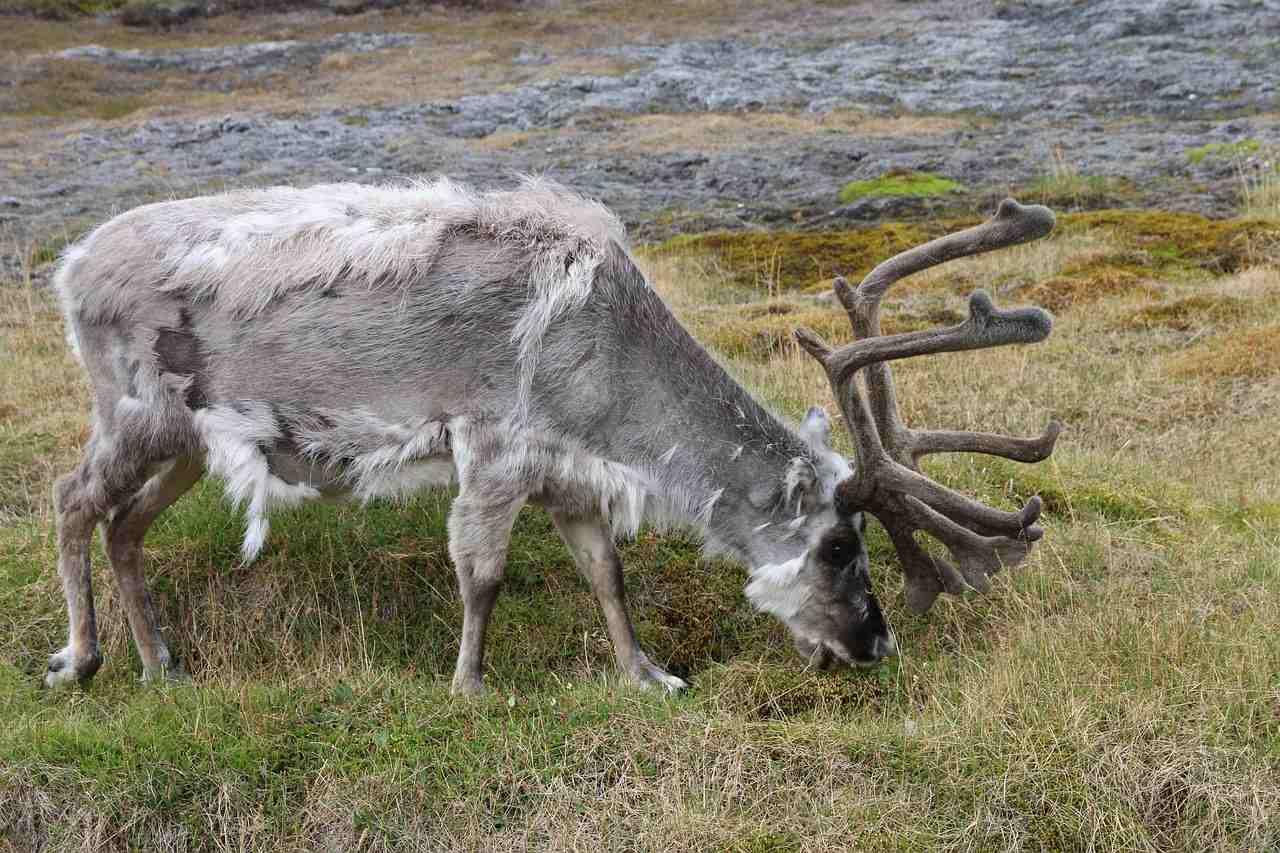 Renos en Svalbard