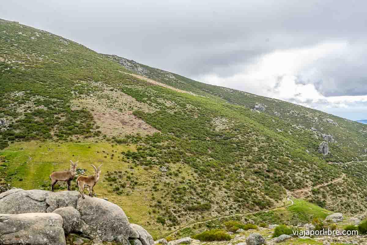 Cabras cerca de la ermita
